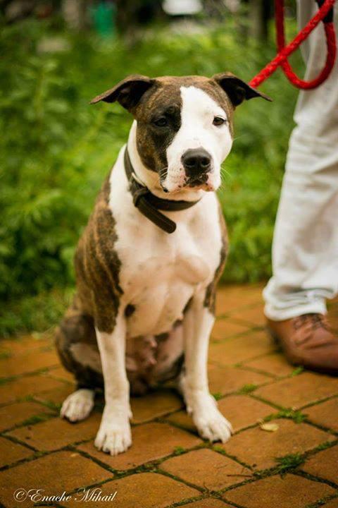 Principessa Bonnie, câinele Andrei, italiancă, dulce şi foarte cuminte