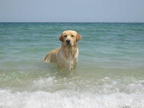 Jager, căţelul meu, labrador, 3 ani jumate, mare iubitor de apa. Cel mai abil cerşetor în viaţă.
